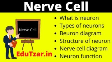 तंत्रिका कोशिका (न्यूराॅन) | Nerve Cell in Hindi | Nuron in Hindi | Nerve Cell Diagram |