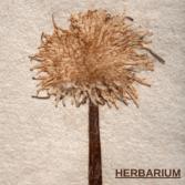 Herbarium in Hindi