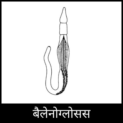 balanoglossus in hindi